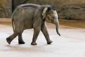 Junger Elefeant im Kölner Zoo