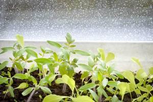 Jungpflanzen im Regen