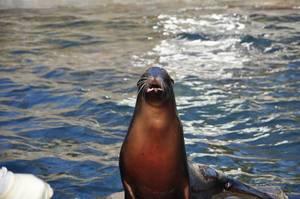 Kalifornischer Seelöwe blickt Richtung Kamera