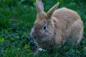 Kaninchen im Gras, neben einem Gänseblümchen