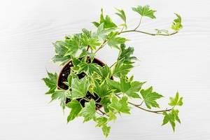 Kleine Efeu-Topfpflanze aus der Sicht von oben