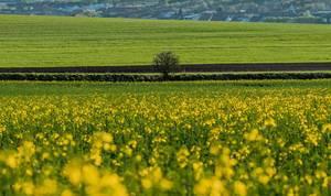 Kleiner Baum an einem Feld mit gelben Rapsblüten