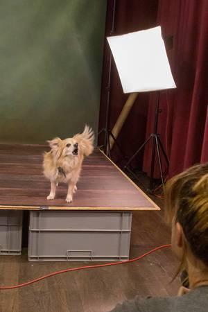 Kleiner Chihuahua bellt während des Fotoshootings vor der Fotografin am Set auf der Hundemesse 2019 in Köln