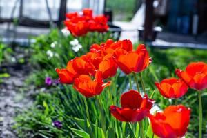Konzeptbild zum Thema Frühling zeigt rote Tulpen, blühend in einer Reihe, mit Licht-Schatten-Spiel
