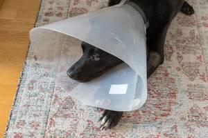 Kranker schwarzer Labrador-Hund trägt einen Schutzkragen als Leckschutz