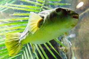 Kugelfisch (Tetraodon pustulatus) - Shedd Aquarium, Chicago