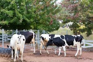 Kühe im Lincoln Park Zoo (Farm Zoo) in Chicago