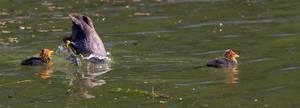 Küken mit tauchender Entenmutter an Lindenthaler Kanäle