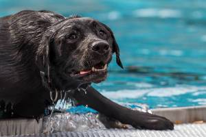 Labrador kommt aus dem Wasser