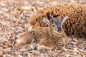 Lamm liegt auf dem Boden neben seiner Mutter