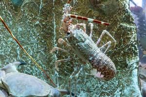 Languste und Krebs auf Stein im Wasser