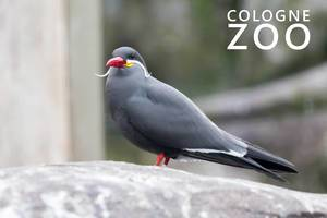 "Larosterna Inca bird with red beak and Italian moustache, standing on a stone next to picture title ""Cologne Zoo"""