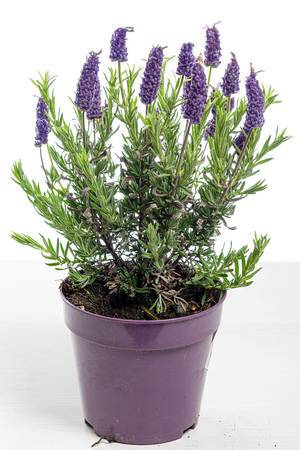 Lavender blooming Bush in pot on white background