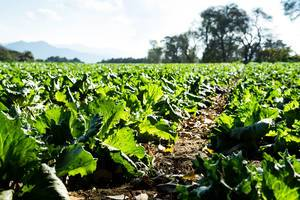Letuce planted in rich soil  Flip 2019