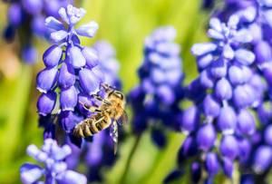 Lila Trauben-Hyazinthe mit einer Biene im Sonnenschein