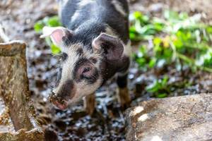 Little domestic pig