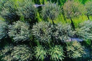 Luftaufnahme von Obstbäumen