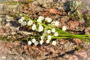 Maiglöckchen auf einer Baumrinde