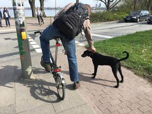 Man on a foldable bicycle attaching a leash to his dog while waiting for traffic light