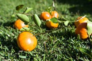Mandarin oranges on the grass