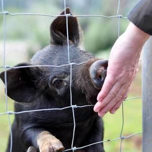 Mann füttert ein Schwein aus der Hand