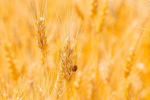 Marienkäfer auf einer Weizenähre im gelben Feld während des Sommers
