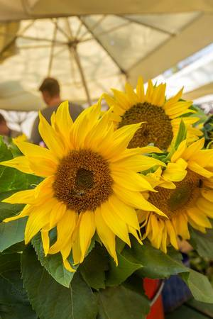 Marketplace Ljubljana, Slovenia - sunflowers