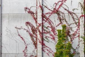 Mauer mit roten und grünen Kletterpflanzen
