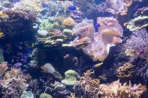 Meeresfische inmitten von Korallen - Shedd Aquarium, Chicago