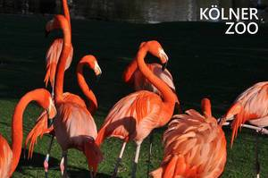 """Mehrere, rote Flamingos stehen auf einer Wiese am Wasser, neben dem Bildtitel: """"Kölner Zoo"""""""