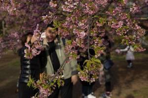 Menschen bewundern die japanischen Kirschblüten, Tokyo