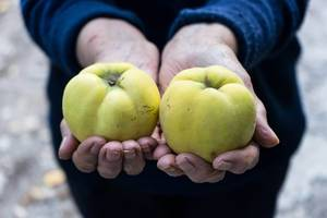 Midsection of the Old Woman Holding Two Quinces