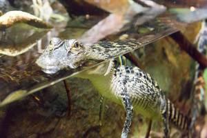 Mississippi-Alligator (Alligator mississippiensis) im Shedd Aquarium