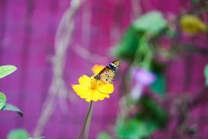 Monarch butterfly on yellow flower (Flip 2019)