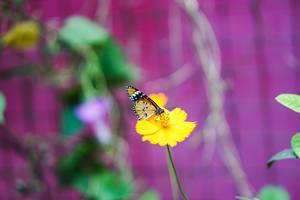 Monarchfalter auf gelber Blüte und lila Hintergrund