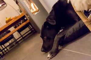 Nachdenklicher schwarzer Labrador liegt auf einem Kissen