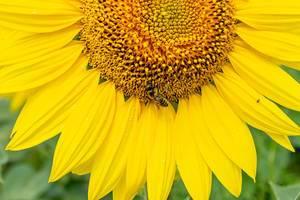 Nahaufnahme einer Biene, die Nektar an einer Sonnenblume sucht