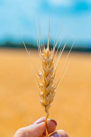Nahaufnahme einer Getreideähre in einer Hand
