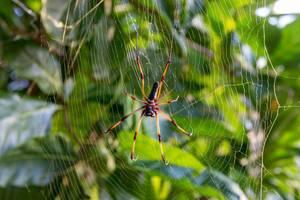 Nahaufnahme einer gold-roten Seidenspinne, auch Nephila inaurata madagascariensis genannt, in ihrem Spinnennetz nahe Port Launay auf Mahé, Seychellen