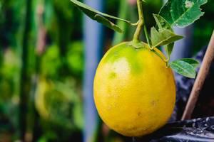 Nahaufnahme einer kleinen, reifen Zitrone am Strauch
