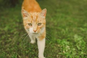 Nahaufnahme einer laufenden orangen Katze