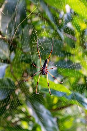 Nahaufnahme einer Seidenspinne mit orange-roten Beinen in ihrem Spinnennetz im Tropenwald nahe Port Launay auf Mahé, Seychellen