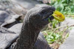 Nahaufnahme einer Seychellen-Schildkröte auf der Insel La Digue beim Essen einer ganzen Sternfrucht