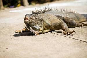 Nahaufnahme eines grünen Leguans auf Zementboden