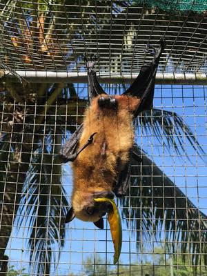 Nahaufnahme eines Seychellen-Flughundes im Vallée de Mai-Naturreservat, der kopfüber in einem Käfig hängt und Mango isst