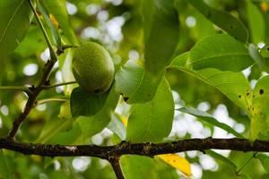 Nahaufnahme eines Walnussbaum Astes mit Frucht