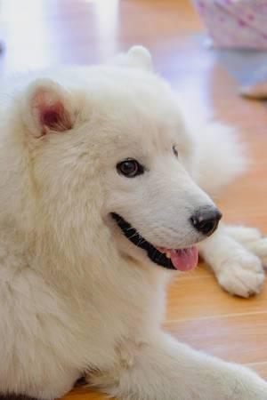 Nahaufnahme eines weißen Alaskan Malamute Hundes, liegend mit ausgestreckter Zunge