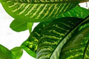 Nahaufnahme sattgrüner Dieffenbachia-Blätter vor weißem Hintergrund