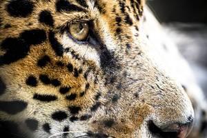 Nahaufnahme vom Gesicht eines Jaguar
