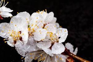 Nahaufnahme von Aprikosenblumen mit Wassertropfen vor schwarzem Hintergrund